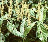 Paullinia cupana Kunth