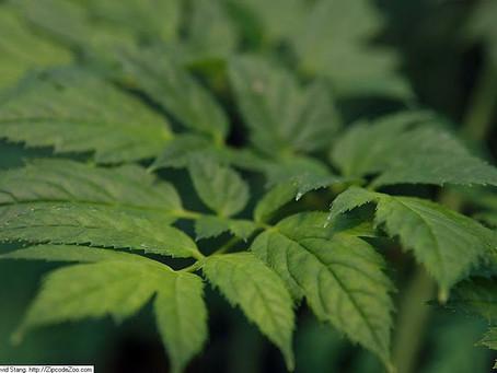 Fitoterápico Cimicifuga racemosa (cohosh negro): risco de hepatotoxicidade