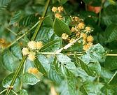 Uncaria tomentosa (Willd. DC.) .