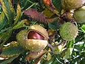 Aesculus hippocastanum L.