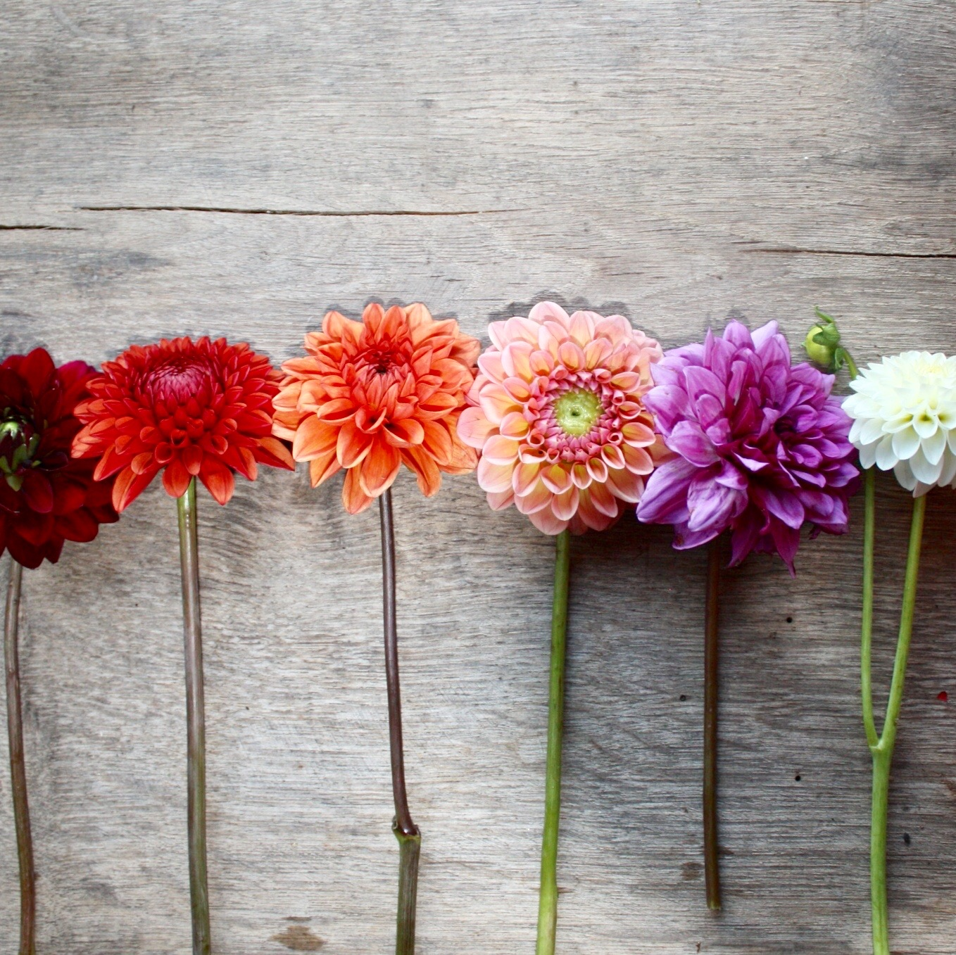 Dahlias row