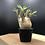 Thumbnail: pachypodium gracilius