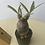 Thumbnail: pachypodium gracilius × oroku basic pot