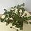 Thumbnail: senna meridionalis