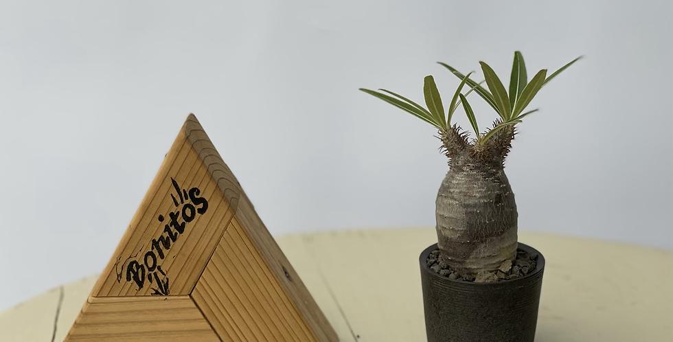 pachypodium gracilius × oroku basic pot