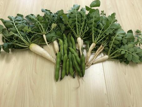 畑で野菜を収穫(^○^)/