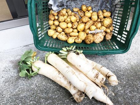 ジャガイモと大根を収穫