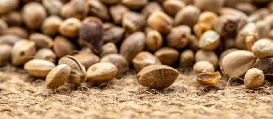 Tips for sourcing feminized hemp seeds