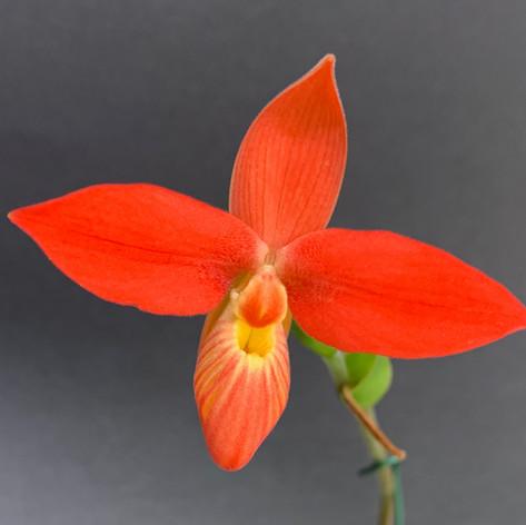 Phrag.besseae