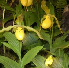 Cyp. parviflorum var. pubescens