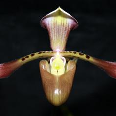 Paph. richardianum
