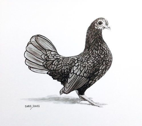 Gold Sebright Hen
