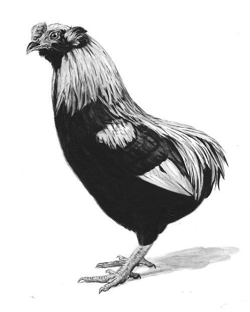 Aracauna Cock