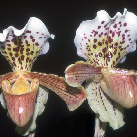 Paph. insigne 'Harefield Hall'
