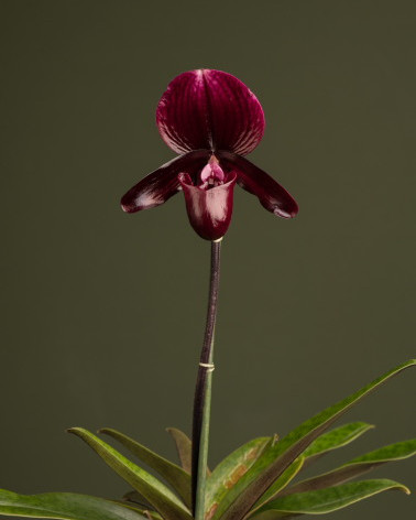 Best Novelty Hybrid Paphiopedilum 2019