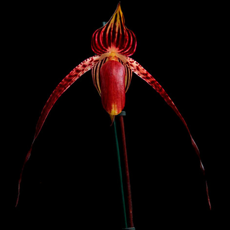 Paph. Duke of Burgundy