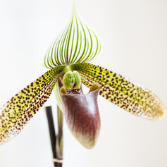 Paph. Johnny Shaw