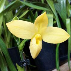 Phrag.besseae fma.flavum