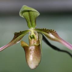 Paph. appletonianum