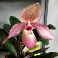 Paph. Delophyllum