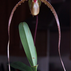 Paph.Crowning Glory