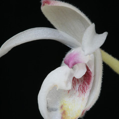 Mex. xerophyticum (lip section)