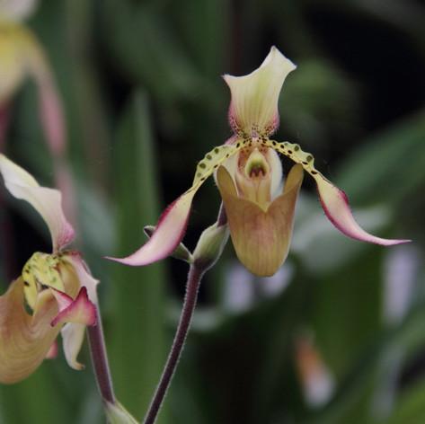 Paph.richardianum