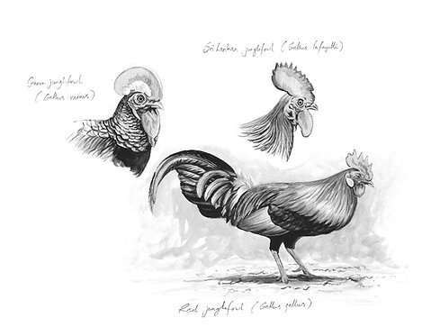 Jungle Fowl Studies