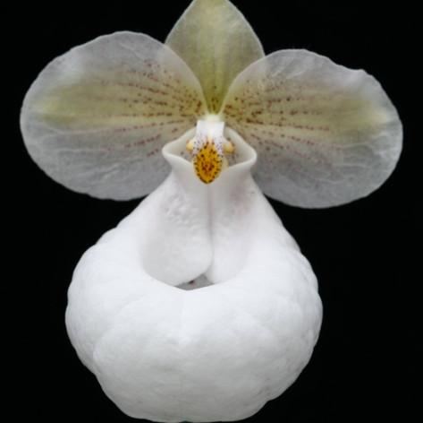 Paph. micranthum var. eburneum