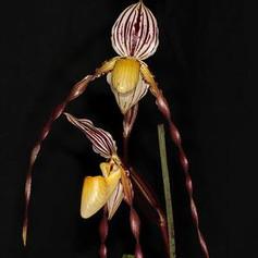 Paph. philippinense var.roebelini