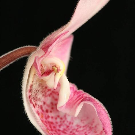 Phrag. fischeri (lip section)