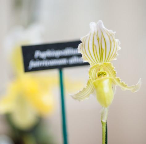 Paph.fairreanum var.alba