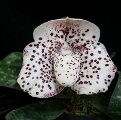 Paph.bellatulum