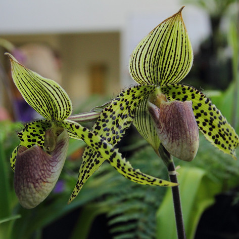 Paph.Iantha Stage