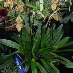 Paph.praestans 'Gina' CCC/RHS and Best Amateur Paph. by Hillary Hobbs