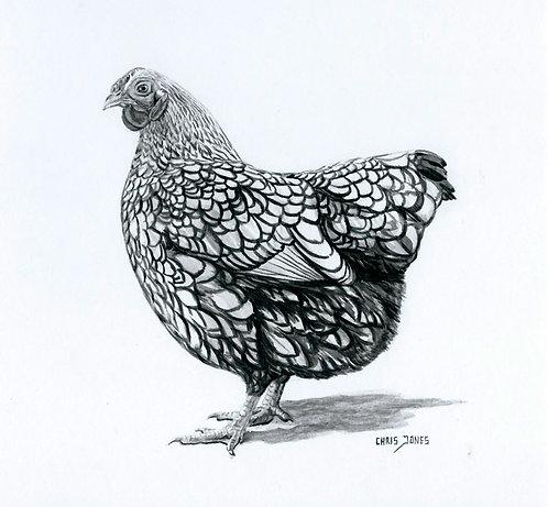 Silver Laced Wyandotte Hen