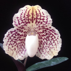 Paph. godefroyeae var. leucochilum
