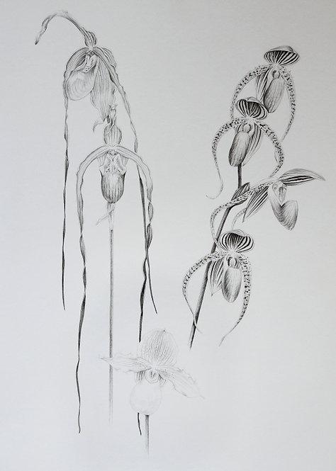 Slipper Orchid Studies