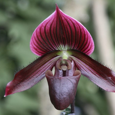Paph. Hung Sheng Red Apple