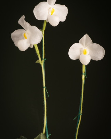 Best Paphiopedilum Species 2019