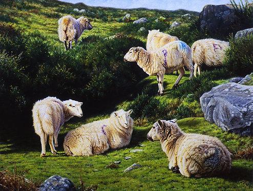 Welsh Mountain Sheep