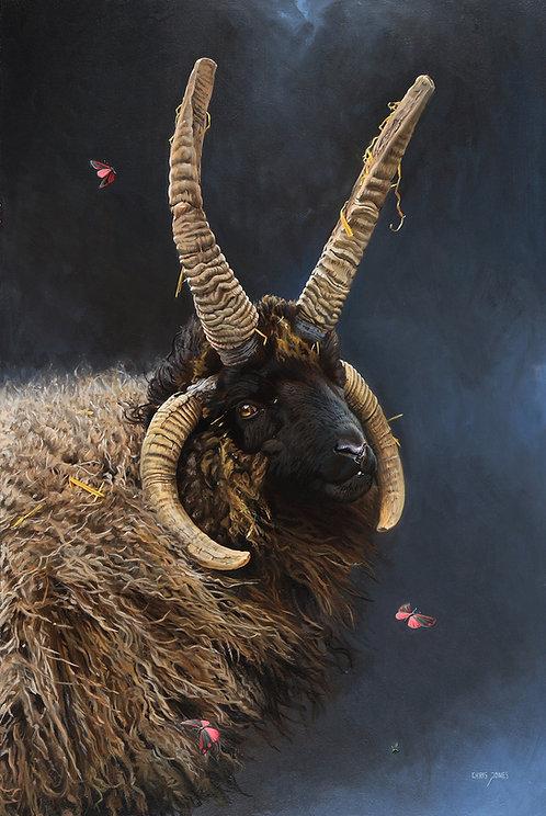 Hebridean Ram & Cinnabar Moths