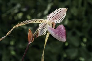 Paph. Lady Isabel 'Showshan'