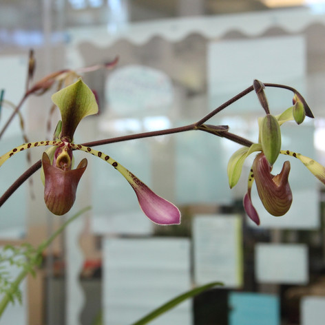 Paph. lowii ('New Horizon' x 'Grand Masterpiece' - BOC 2018
