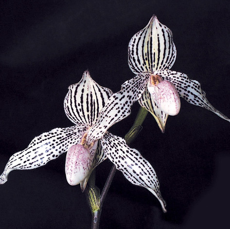 Paph. Mike Roccaforte