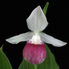 Cyp. reginae
