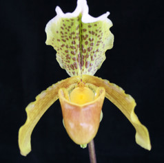 Paph.insigne 'Colin Carter'