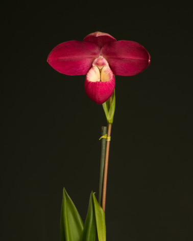 Best Phragmipedium Hybrid 2019