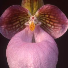 Paph.micranthum