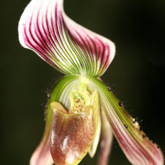 Paph. callosum var. thailandense